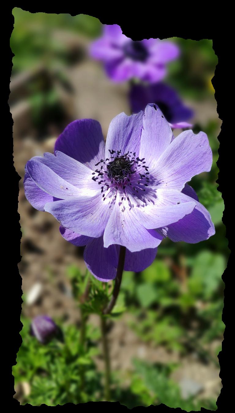 fleur bleue romantique